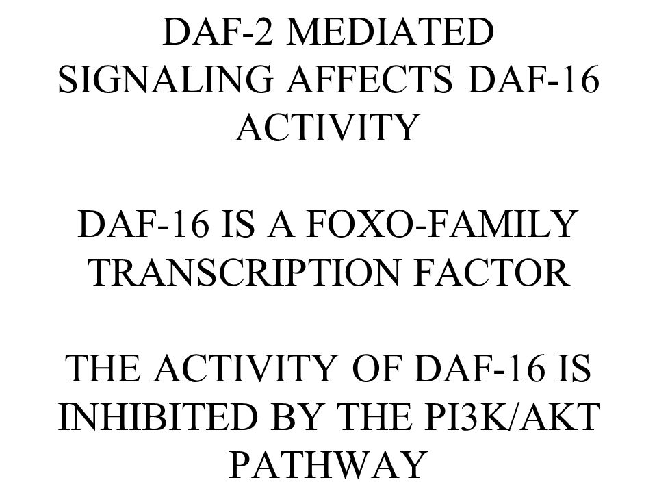 DAF-2 MEDIATED SIGNALING AFFECTS DAF-16 ACTIVITY DAF-16 IS A FOXO-FAMILY TRANSCRIPTION FACTOR THE ACTIVITY OF DAF-16 IS INHIBITED BY THE PI3K/AKT PATHWAY