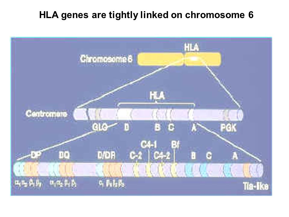 HLA genes are tightly linked on chromosome 6