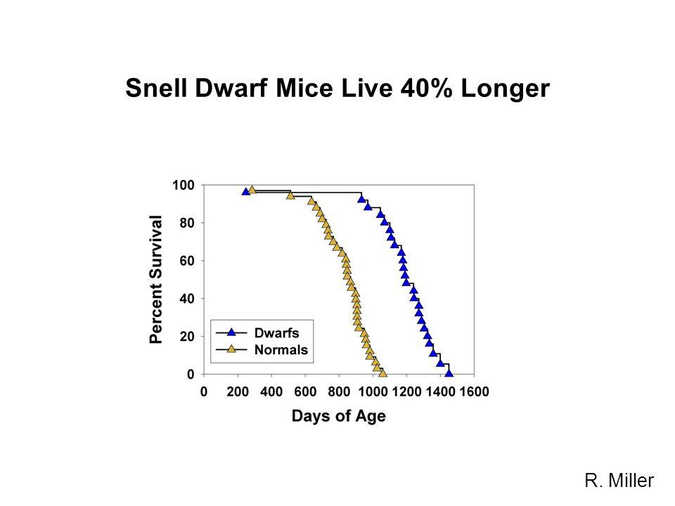 Snell Dwarf Mice Live 40% Longer R. Miller