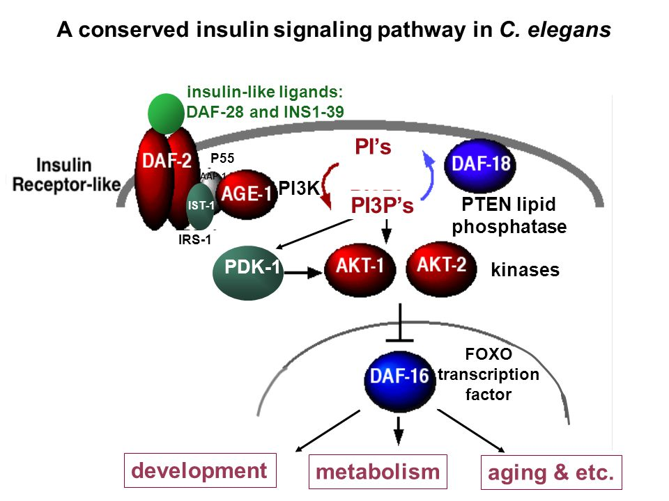 insulin receptor-like development aging & etc. metabolism insulin-like ligands: DAF-28 and INS1-39 IST-1 AAP-1 PDK-1 kinases PTEN lipid phosphatase FO