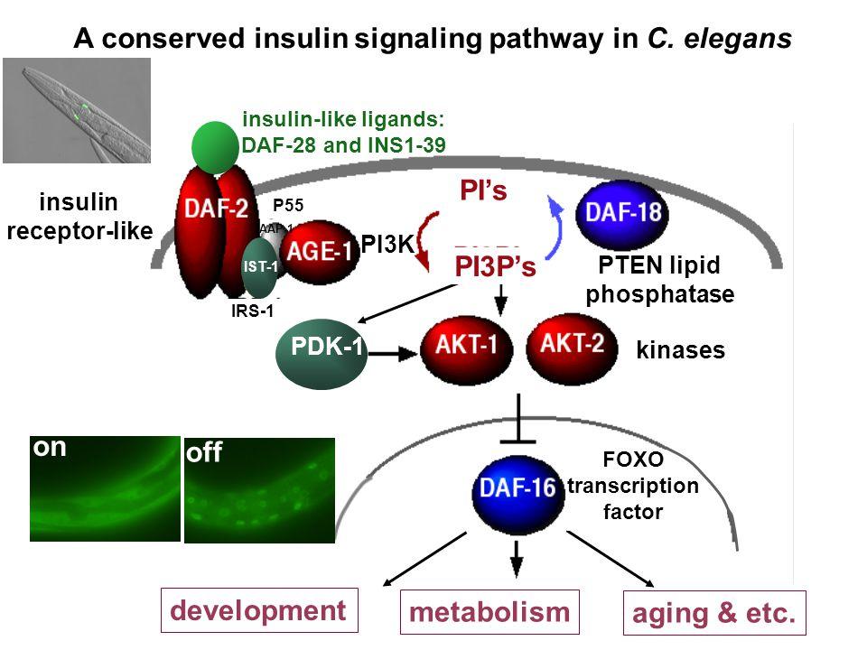 development aging & etc. metabolism insulin-like ligands: DAF-28 and INS1-39 IST-1 AAP-1 PDK-1 kinases insulin receptor-like PTEN lipid phosphatase FO