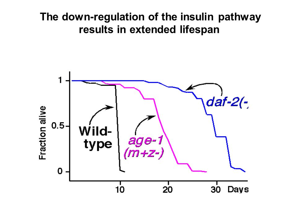 The down-regulation of the insulin pathway results in extended lifespan