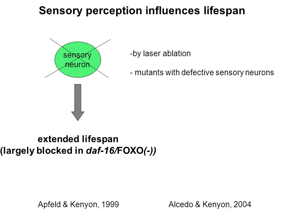 sensory neuron -by laser ablation - mutants with defective sensory neurons extended lifespan (largely blocked in daf-16/FOXO(-)) Sensory perception influences lifespan Alcedo & Kenyon, 2004Apfeld & Kenyon, 1999