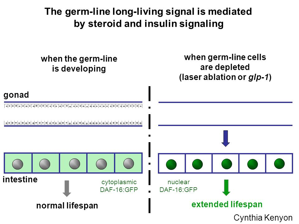 gonad intestine when the germ-line is developing normal lifespan extended lifespan The germ-line long-living signal is mediated by steroid and insulin signaling when germ-line cells are depleted (laser ablation or glp-1) nuclear DAF-16:GFP cytoplasmic DAF-16:GFP Cynthia Kenyon
