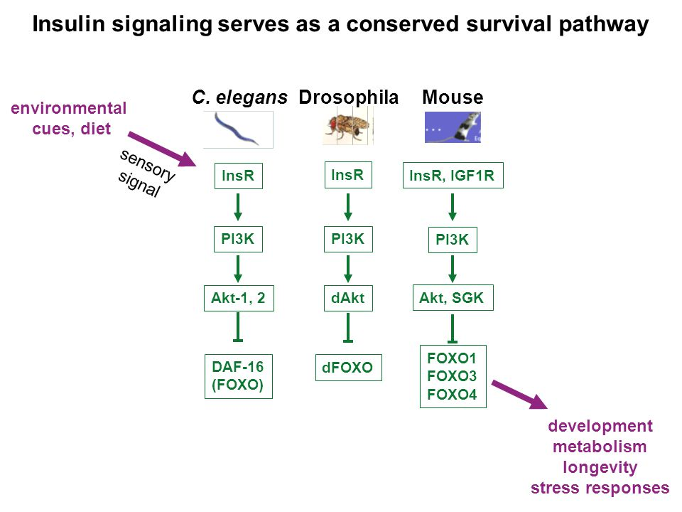 Does steroid signaling serve as another conserved survival pathway.