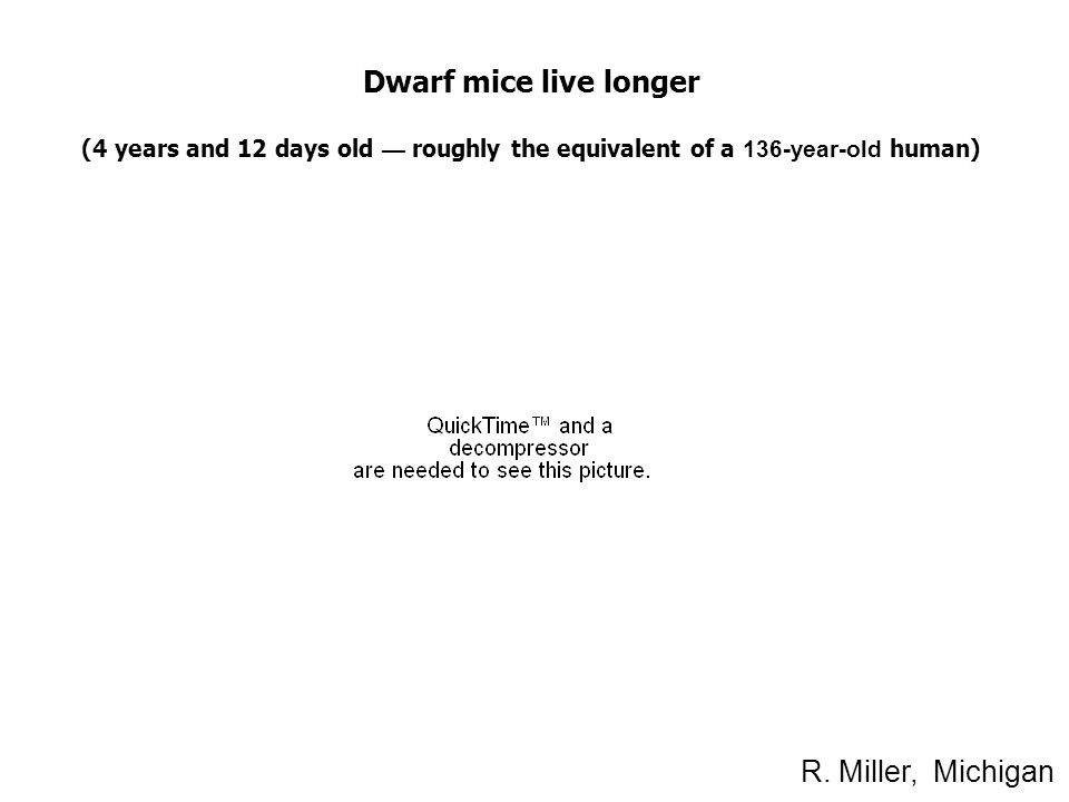 Dwarf mice live longer (4 years and 12 days old — roughly the equivalent of a 136-year-old human) R.