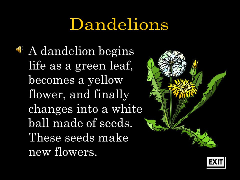 You worked really hard to learn about the life span of the dandelion.
