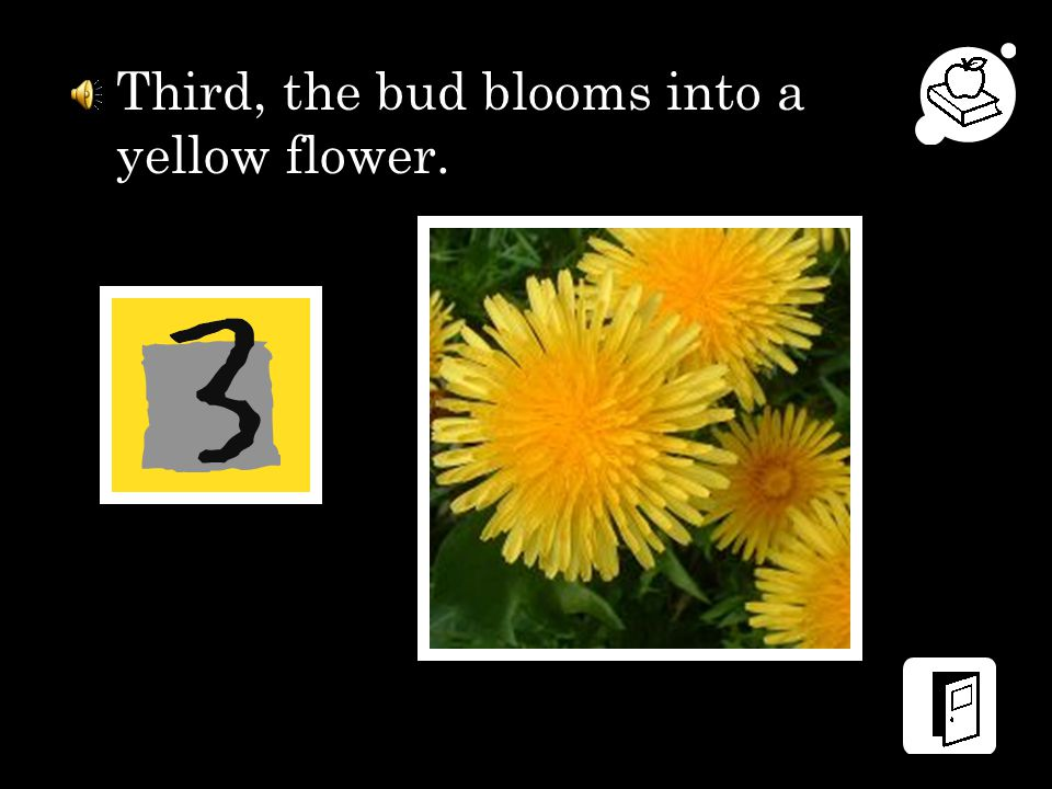 Third, the bud blooms into a yellow flower.