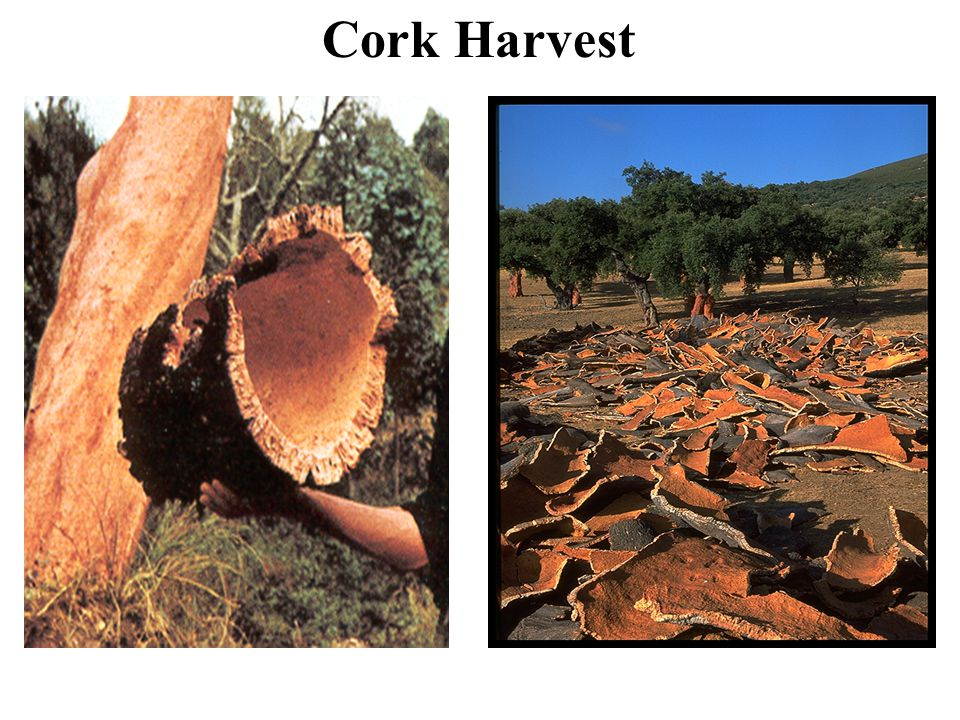 Durability Cork has been used in the United States since 1890.