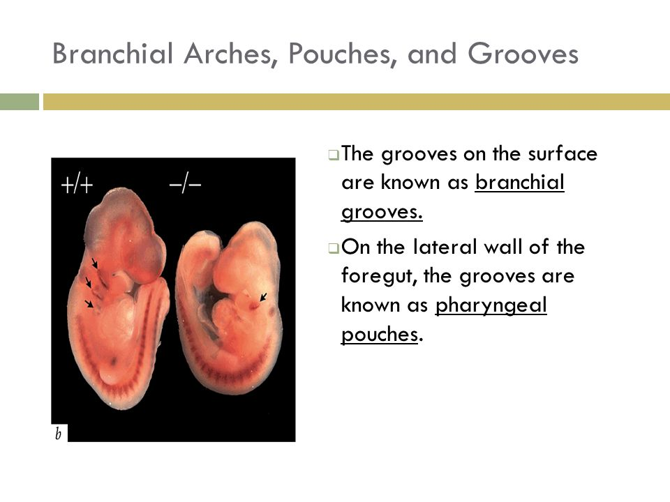 Branchial Arches, Pouches, and Grooves  The grooves on the surface are known as branchial grooves.  On the lateral wall of the foregut, the grooves