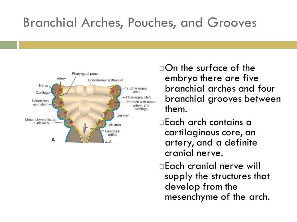 Branchial Arches, Pouches, and Grooves  On the surface of the embryo there are five branchial arches and four branchial grooves between them.  Each