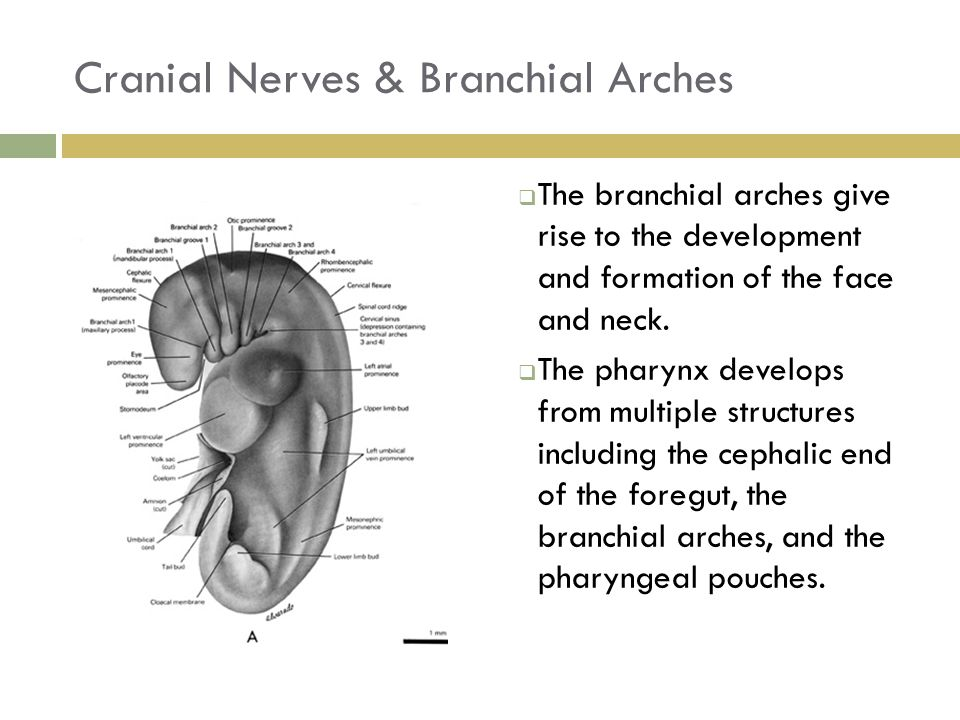 Cranial Nerves & Branchial Arches  The branchial arches give rise to the development and formation of the face and neck.