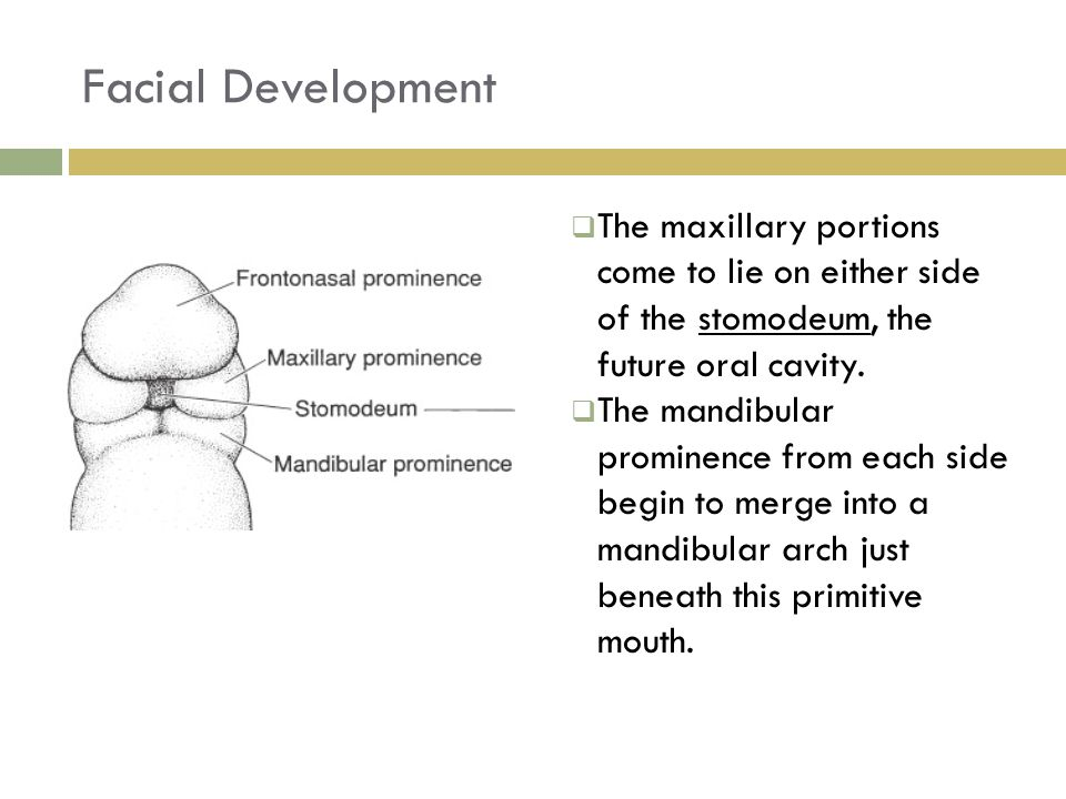 Facial Development  The maxillary portions come to lie on either side of the stomodeum, the future oral cavity.