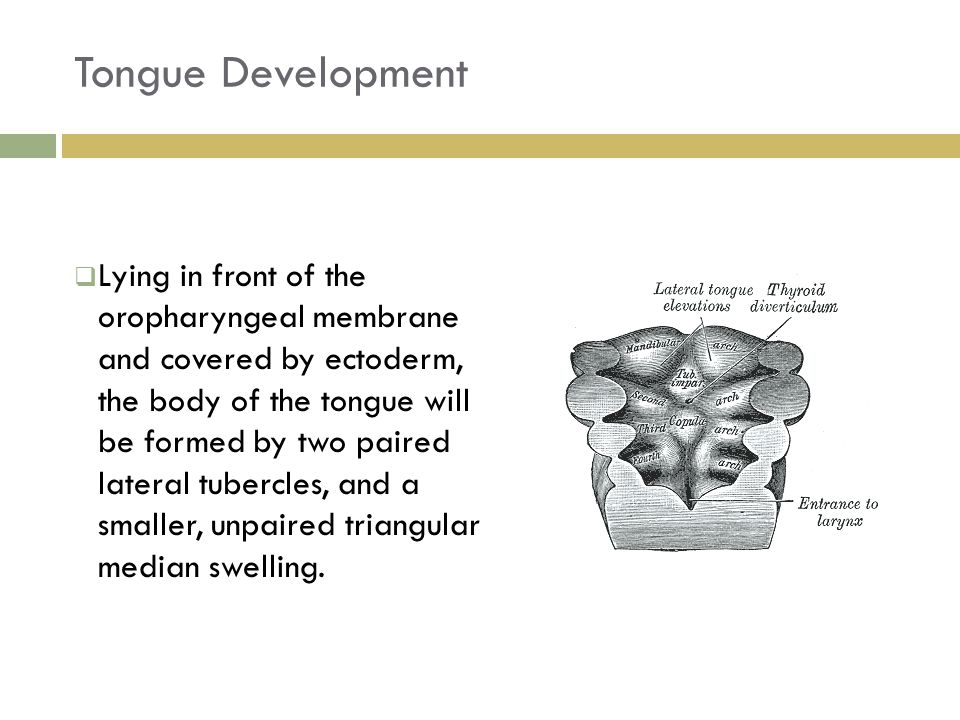 Tongue Development 19  Lying in front of the oropharyngeal membrane and covered by ectoderm, the body of the tongue will be formed by two paired late