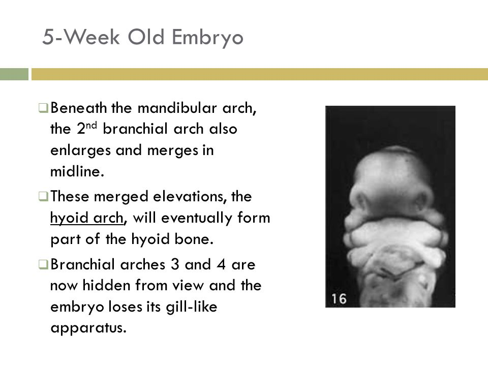 5-Week Old Embryo 25  Beneath the mandibular arch, the 2 nd branchial arch also enlarges and merges in midline.  These merged elevations, the hyoid