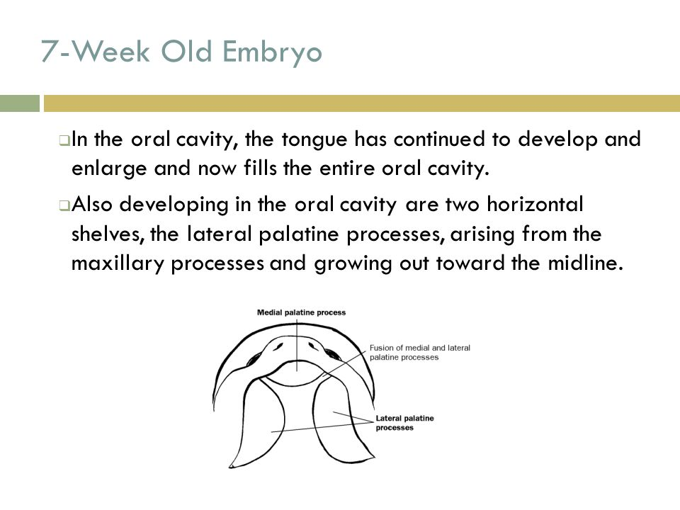 7-Week Old Embryo  In the oral cavity, the tongue has continued to develop and enlarge and now fills the entire oral cavity.