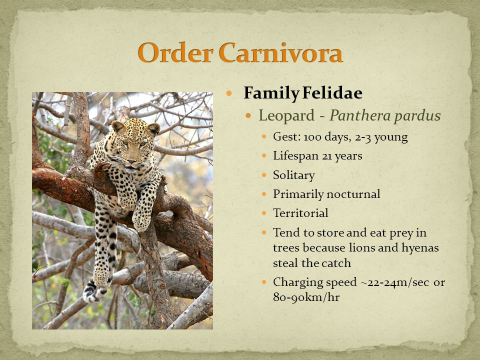 Family Felidae Leopard - Panthera pardus Gest: 100 days, 2-3 young Lifespan 21 years Solitary Primarily nocturnal Territorial Tend to store and eat prey in trees because lions and hyenas steal the catch Charging speed ~22-24m/sec or 80-90km/hr