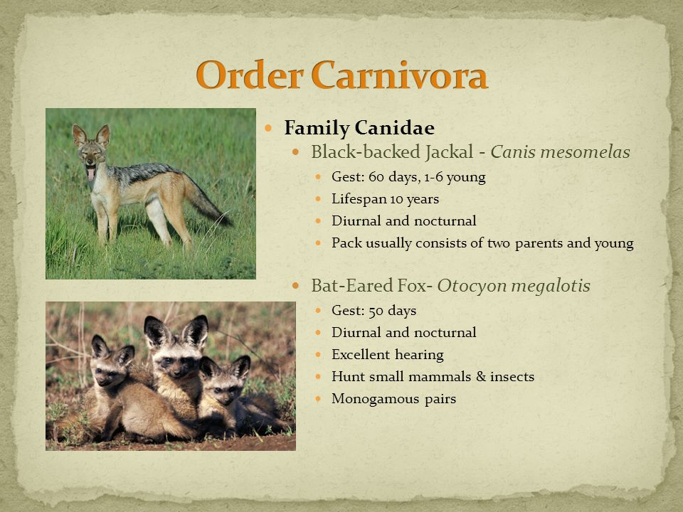 Family Canidae Black-backed Jackal - Canis mesomelas Gest: 60 days, 1-6 young Lifespan 10 years Diurnal and nocturnal Pack usually consists of two parents and young Bat-Eared Fox- Otocyon megalotis Gest: 50 days Diurnal and nocturnal Excellent hearing Hunt small mammals & insects Monogamous pairs