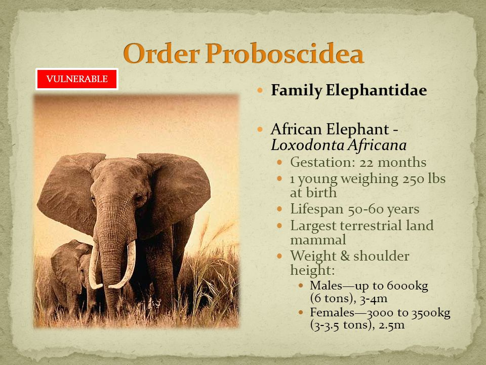 Family Elephantidae African Elephant - Loxodonta Africana Gestation: 22 months 1 young weighing 25o lbs at birth Lifespan 50-60 years Largest terrestrial land mammal Weight & shoulder height: Males—up to 6000kg (6 tons), 3-4m Females—3000 to 3500kg (3-3.5 tons), 2.5m VULNERABLE