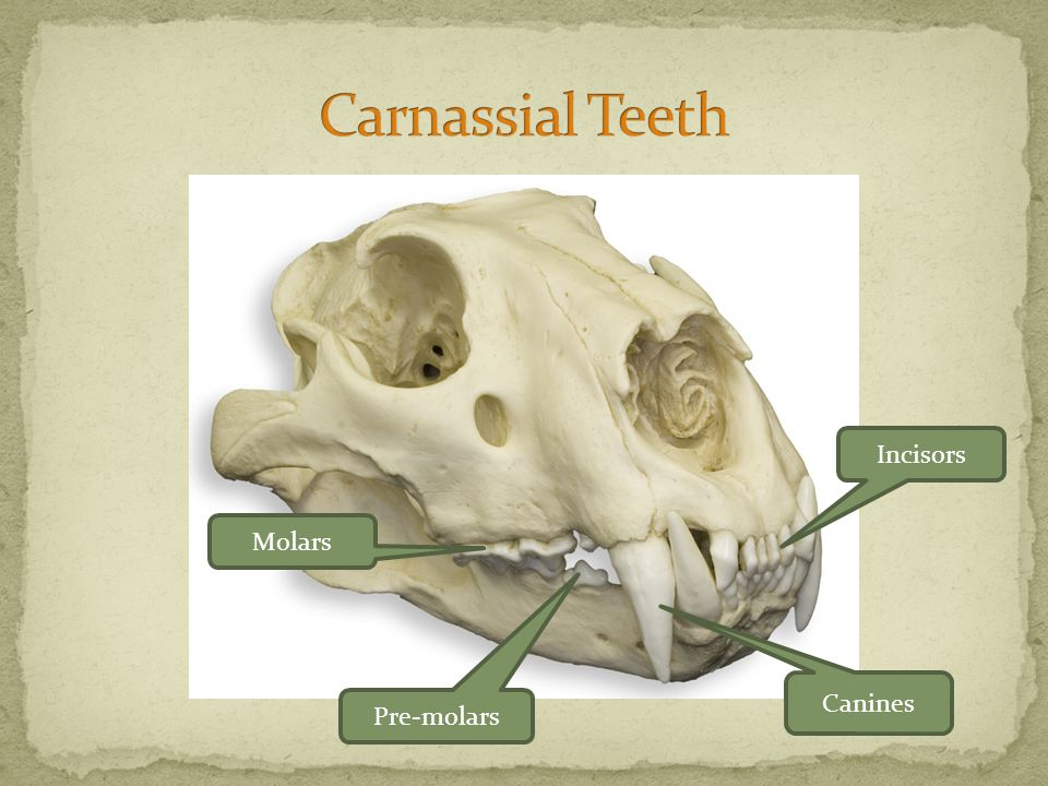 Molars Pre-molars Canines Incisors