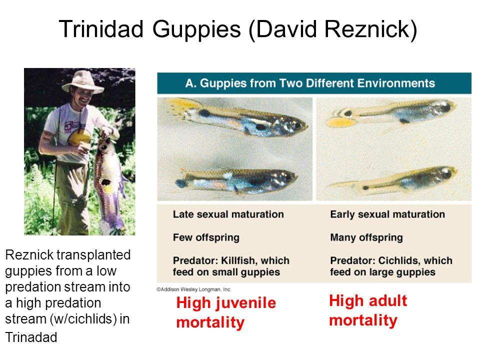 Trinidad Guppies (David Reznick) Reznick transplanted guppies from a low predation stream into a high predation stream (w/cichlids) in Trinadad High j