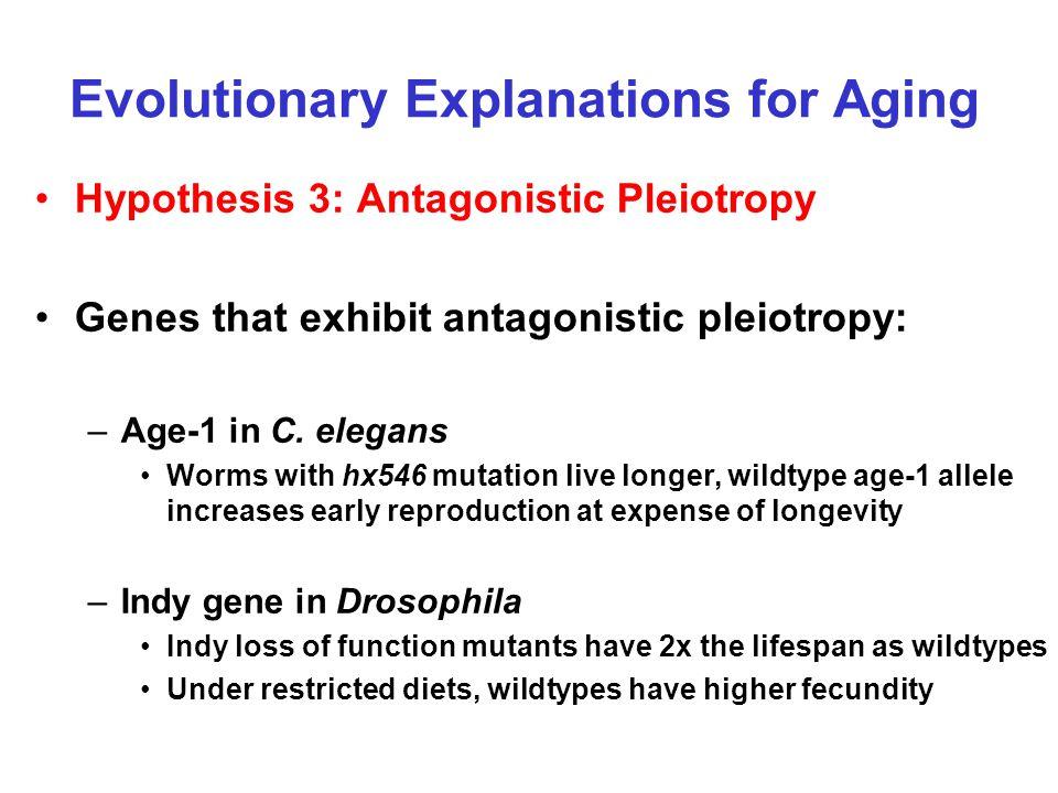 Evolutionary Explanations for Aging Hypothesis 3: Antagonistic Pleiotropy Genes that exhibit antagonistic pleiotropy: –Age-1 in C. elegans Worms with