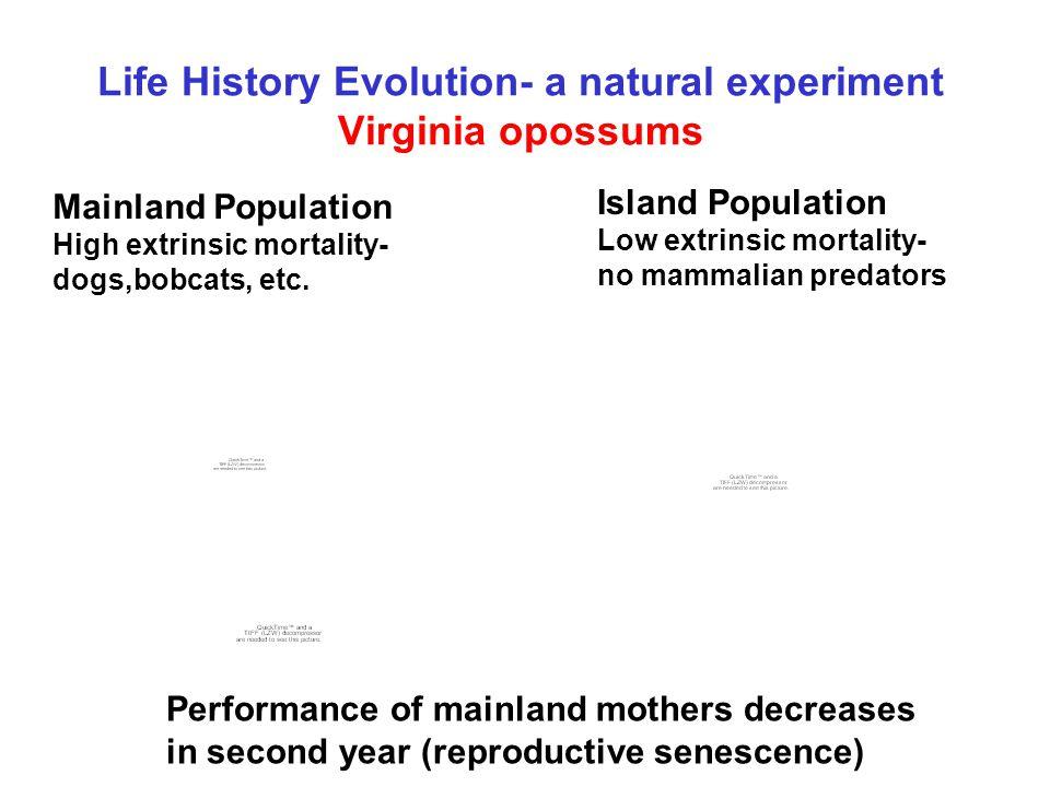 Life History Evolution- a natural experiment Virginia opossums Mainland Population High extrinsic mortality- dogs,bobcats, etc. Island Population Low
