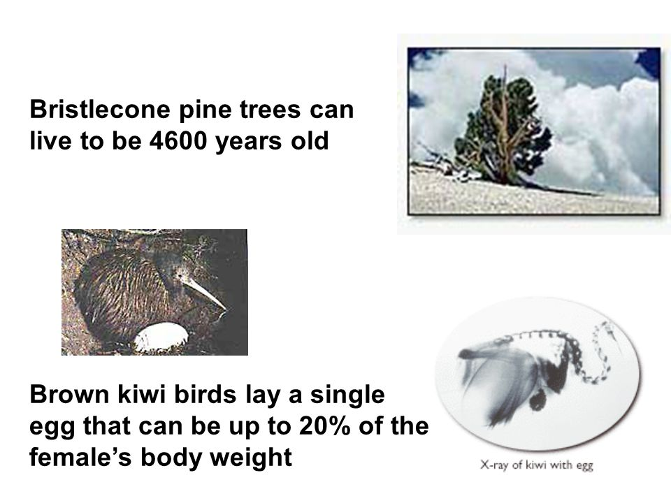 Bristlecone pine trees can live to be 4600 years old Brown kiwi birds lay a single egg that can be up to 20% of the female's body weight