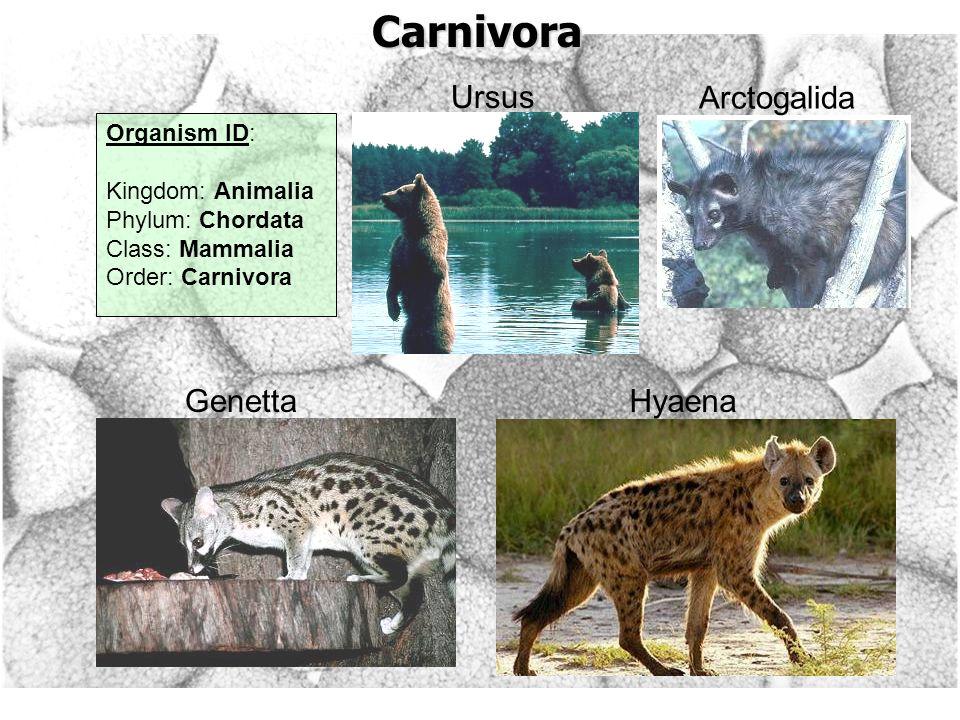 Carnivora Hyaena Ursus Arctogalida Organism ID: Kingdom: Animalia Phylum: Chordata Class: Mammalia Order: Carnivora Genetta