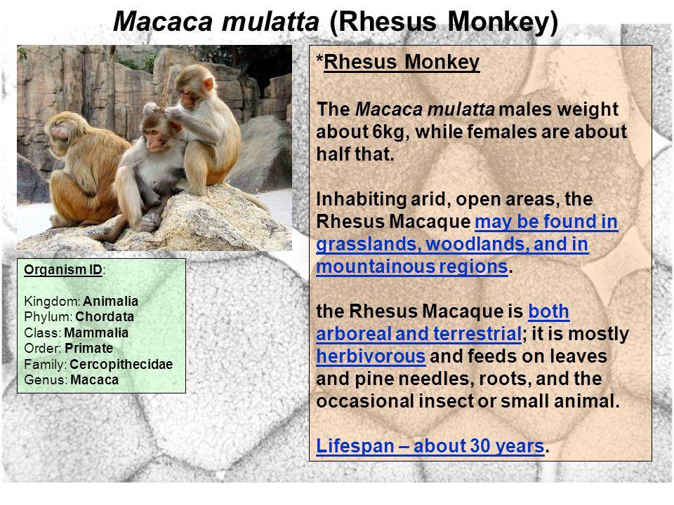 Macaca mulatta (Rhesus Monkey) Organism ID: Kingdom: Animalia Phylum: Chordata Class: Mammalia Order: Primate Family: Cercopithecidae Genus: Macaca *Rhesus Monkey The Macaca mulatta males weight about 6kg, while females are about half that.