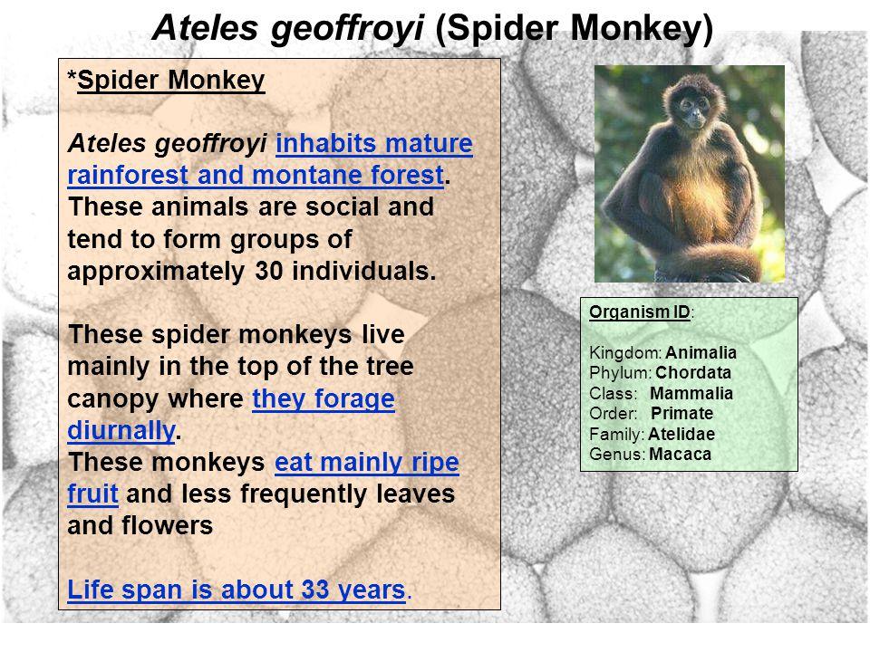 Ateles geoffroyi (Spider Monkey) Organism ID: Kingdom: Animalia Phylum: Chordata Class: Mammalia Order: Primate Family: Atelidae Genus: Macaca *Spider Monkey Ateles geoffroyi inhabits mature rainforest and montane forest.