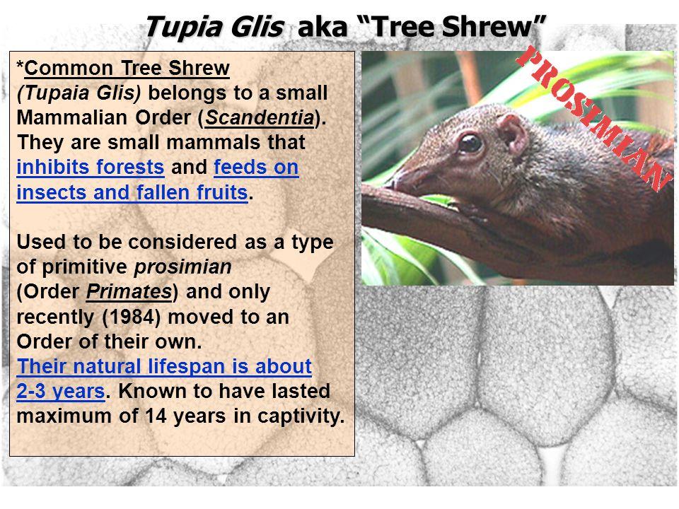 Tupia Glis aka Tree Shrew *Common Tree Shrew (Tupaia Glis) belongs to a small Mammalian Order (Scandentia).