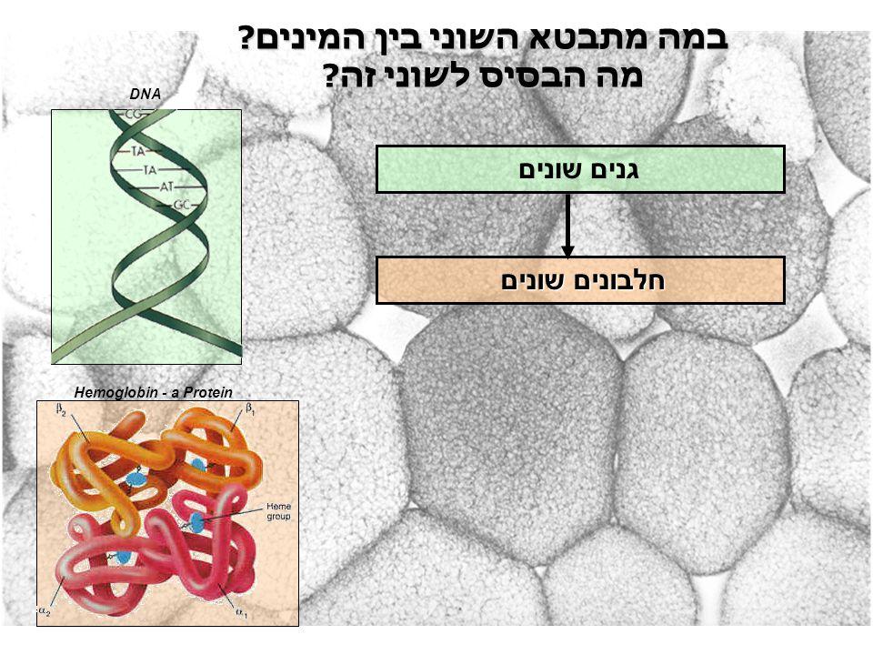במה מתבטא השוני בין המינים? מה הבסיס לשוני זה? גנים שונים חלבונים שונים Hemoglobin - a Protein DNA