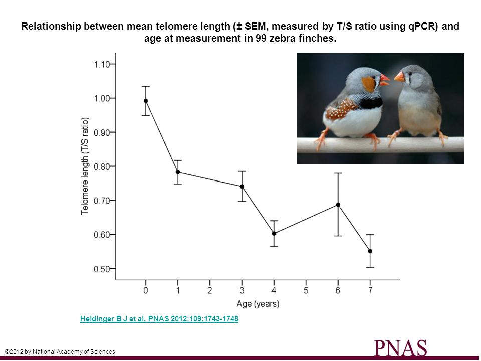 Relationship between mean telomere length (± SEM, measured by T/S ratio using qPCR) and age at measurement in 99 zebra finches.