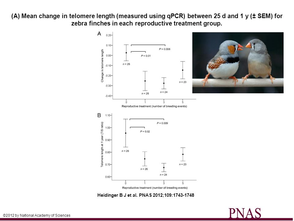 (A) Mean change in telomere length (measured using qPCR) between 25 d and 1 y (± SEM) for zebra finches in each reproductive treatment group. Heidinge