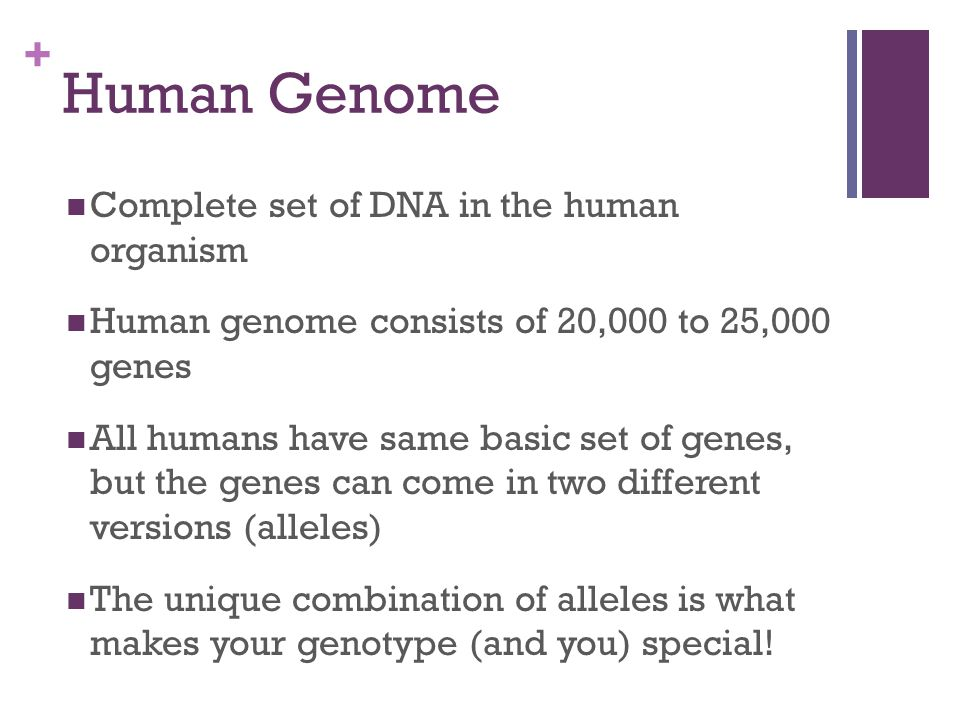 + Human Genome Complete set of DNA in the human organism Human genome consists of 20,000 to 25,000 genes All humans have same basic set of genes, but the genes can come in two different versions (alleles) The unique combination of alleles is what makes your genotype (and you) special!