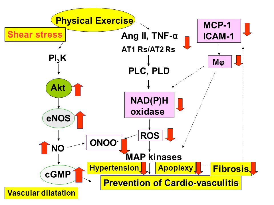 Physical Exercise PI 3 K Akt eNOS NO cGMP Prevention of Cardio-vasculitis Ang II, TNF-α PLC, PLD NAD(P)H oxidase ROS MAP kinases ONOO - MCP-1 ICAM-1 Mφ AT1 Rs/AT2 Rs Vascular dilatation HypertensionApoplexy Shear stress Fibrosis