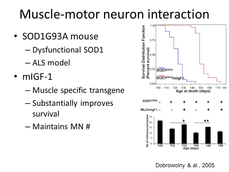 Muscle-motor neuron interaction SOD1G93A mouse – Dysfunctional SOD1 – ALS model mIGF-1 – Muscle specific transgene – Substantially improves survival –