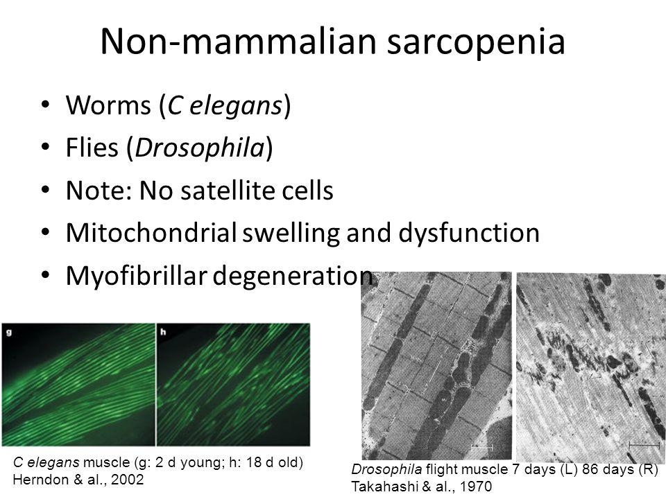 Non-mammalian sarcopenia Worms (C elegans) Flies (Drosophila) Note: No satellite cells Mitochondrial swelling and dysfunction Myofibrillar degeneratio