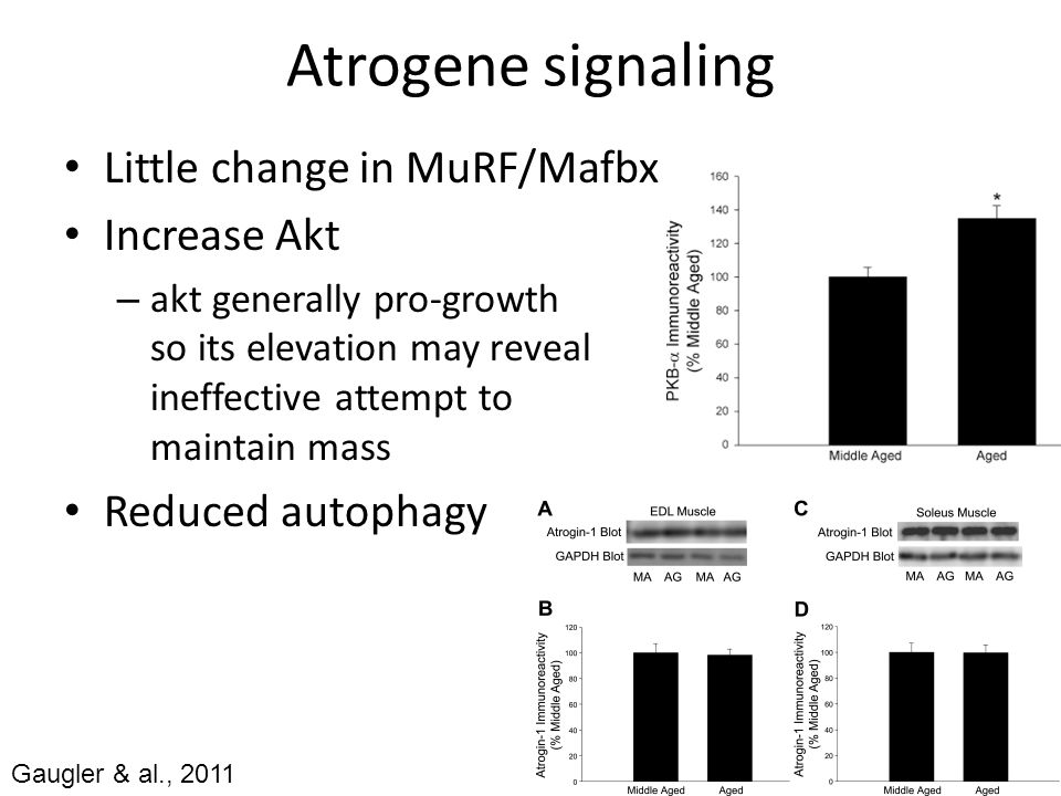 Response to exercise Fry & al., 2011 (humans) 8X10 @ 70% 1RM – Akt-mTOR similar peak, but condensed – ERK attenuated – Protein synth well predicted by signaling Equivalence of loading?