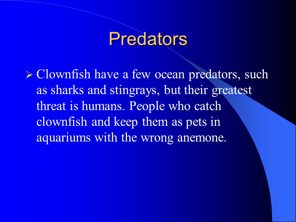 Predators  Clownfish have a few ocean predators, such as sharks and stingrays, but their greatest threat is humans.