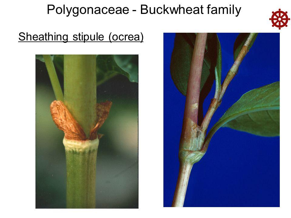 Polygonaceae - Buckwheat family Sheathing stipule (ocrea) 