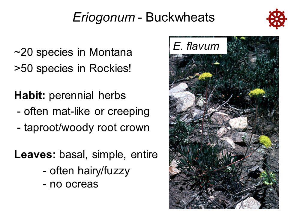 Eriogonum - Buckwheats  E. flavum ~20 species in Montana >50 species in Rockies.