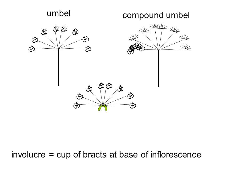              umbel compound umbel involucre = cup of bracts at base of inflorescence       