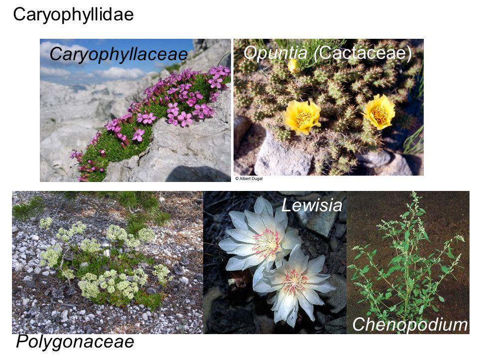 Caryophyllidae Caryophyllaceae Opuntia (Cactaceae) Lewisia Polygonaceae Chenopodium
