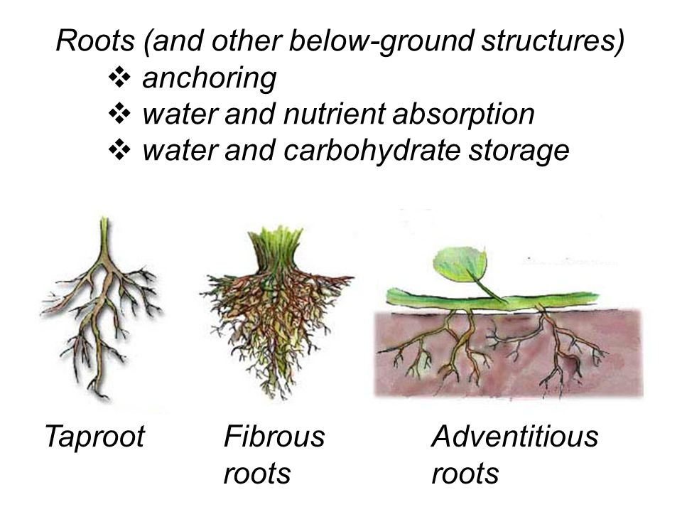 Roots (and other below-ground structures)  anchoring  water and nutrient absorption  water and carbohydrate storage TaprootFibrous roots Adventitious roots