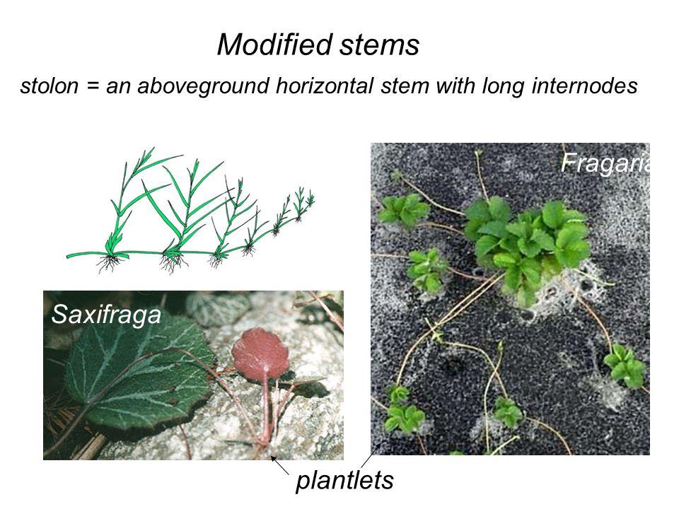 Modified stems stolon = an aboveground horizontal stem with long internodes Saxifraga Fragaria plantlets
