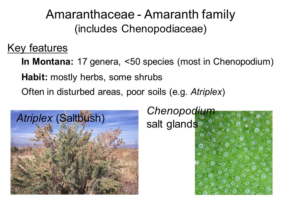 Amaranthaceae - Amaranth family (includes Chenopodiaceae) Key features In Montana: 17 genera, <50 species (most in Chenopodium) Habit: mostly herbs, some shrubs Often in disturbed areas, poor soils (e.g.