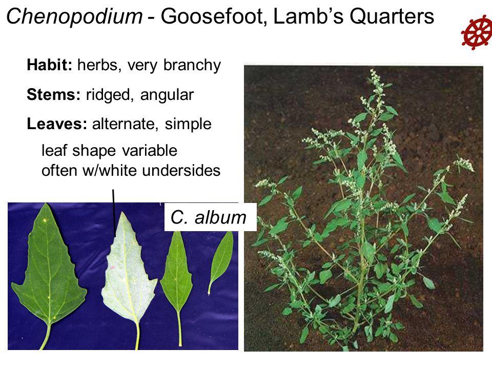  Habit: herbs, very branchy Stems: ridged, angular Leaves: alternate, simple Agrostemma Chenopodium - Goosefoot, Lamb's Quarters leaf shape variable often w/white undersides C.