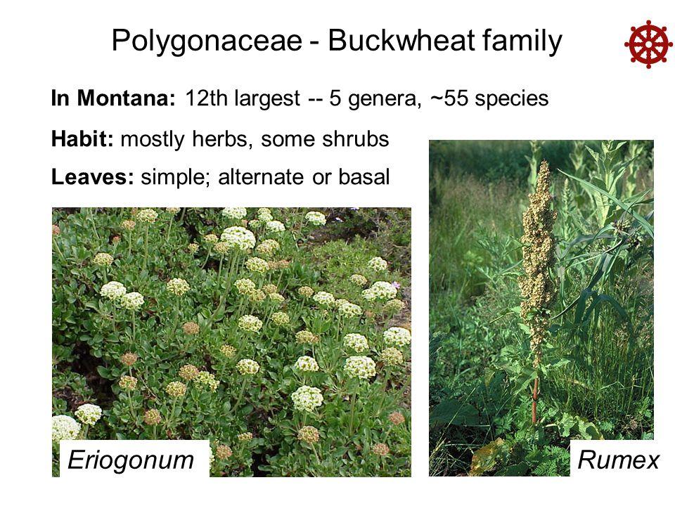 Polygonaceae - Buckwheat family In Montana: 12th largest -- 5 genera, ~55 species Habit: mostly herbs, some shrubs Leaves: simple; alternate or basal EriogonumRumex 